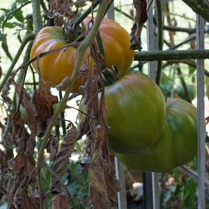 heirloom-tomato-plant-dying
